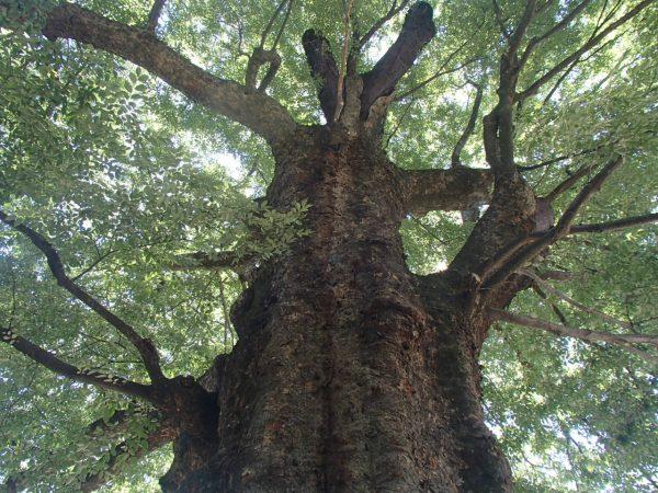 日陰を求めてケヤキの大木