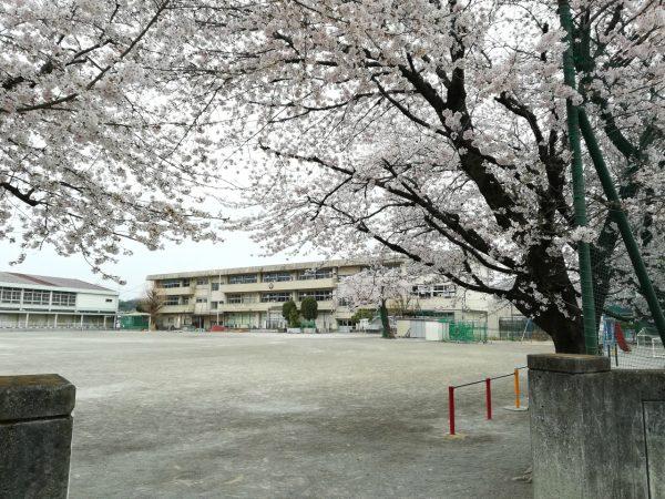 小学校の桜が満開